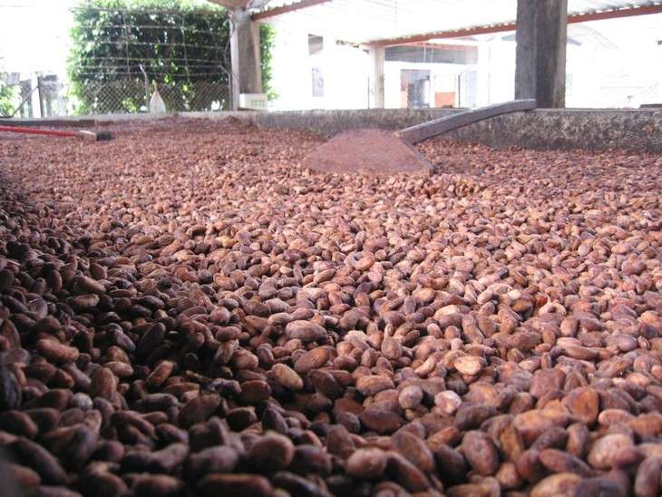 Researchers discover gene that controls melting point of cocoa butter
