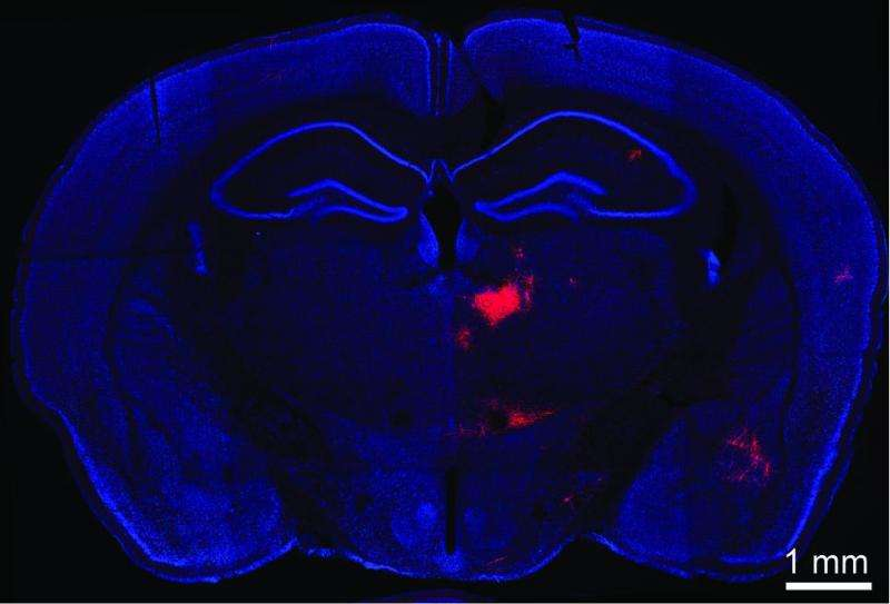 Discovery of communication link between brain areas implicated in schizophrenia