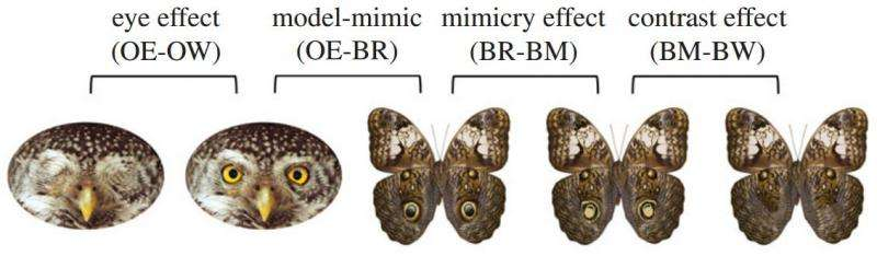 Study suggests fake eyes on butterfly wings mimic eyes of predators