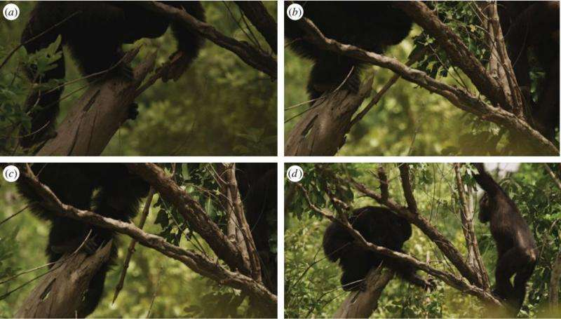 Chimps in Senegal found to fashion spears for hunting
