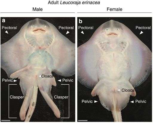 Researchers find that clasper development in male skates is controlled by hormonal regulation of the Shh pathway