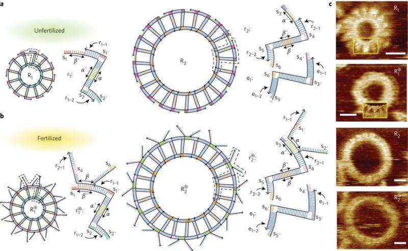 Self-replicating nanostructures made from DNA