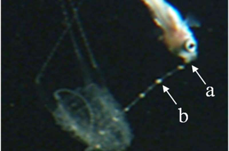 How a box jellyfish catches fish