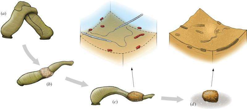 50 million year old sperm cells found in fossilized cocoon