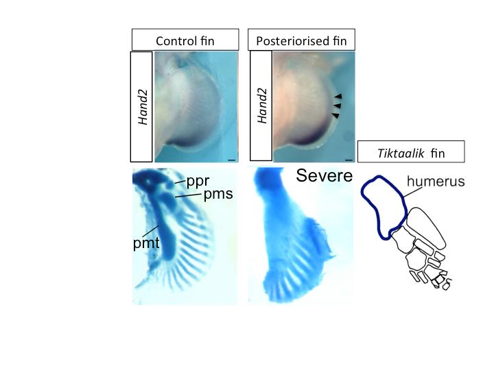 Key genetic event underlying fin-to-limb evolution