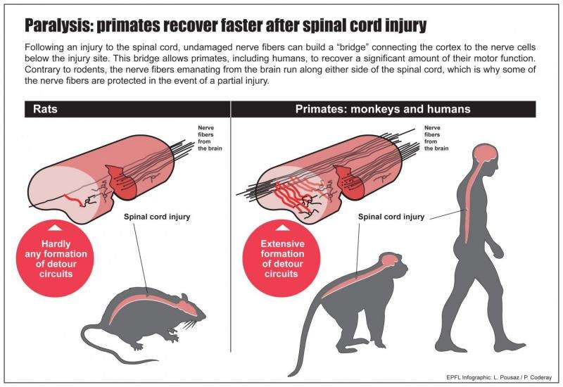 Paralysis: Primates recover better than rodents