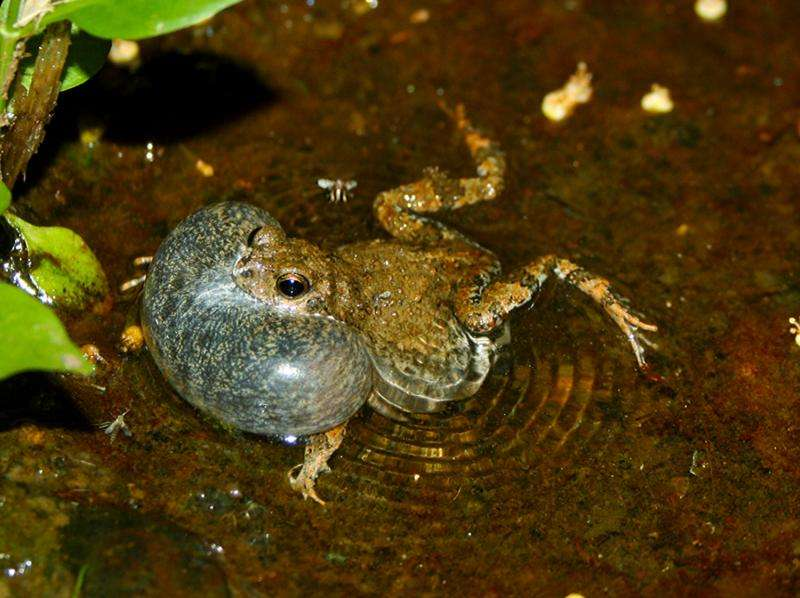 Study shows female frogs susceptible to 'decoy effect'