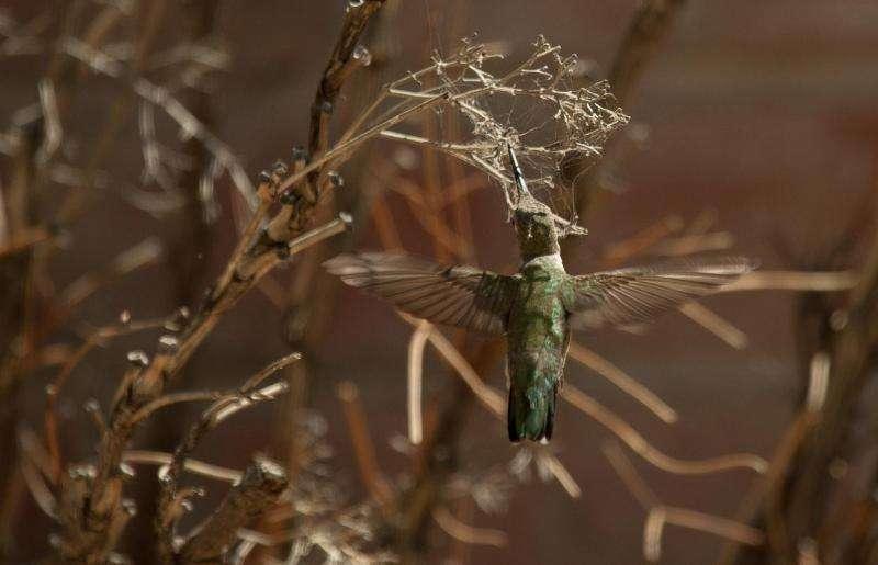 Hummingbirds find protection building nests under hawks