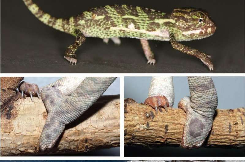 How the chameleon climbed to the top of the tree