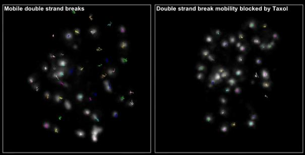 DNA strands often 'wiggle' as part of genetic repair