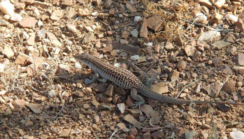 Scientists find short-term rainfall, not temperature, controls lizard microhabitat
