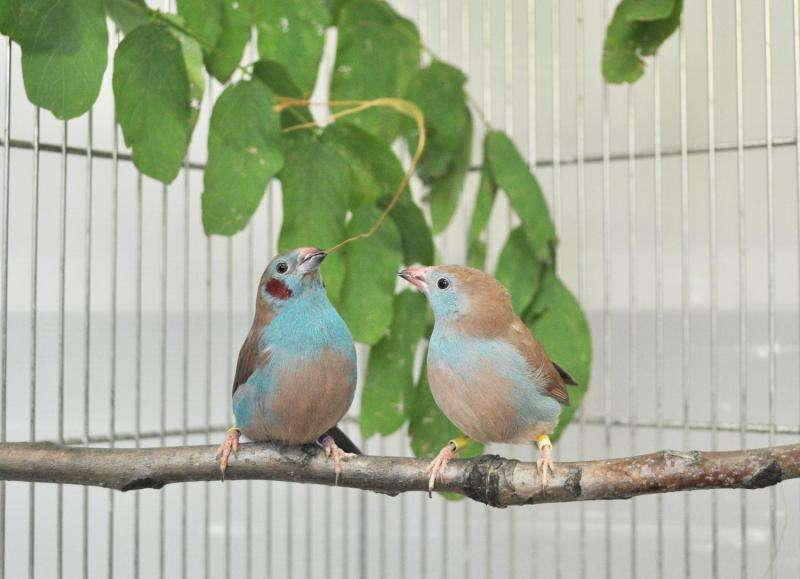 The Fred and Ginger of the finch world
