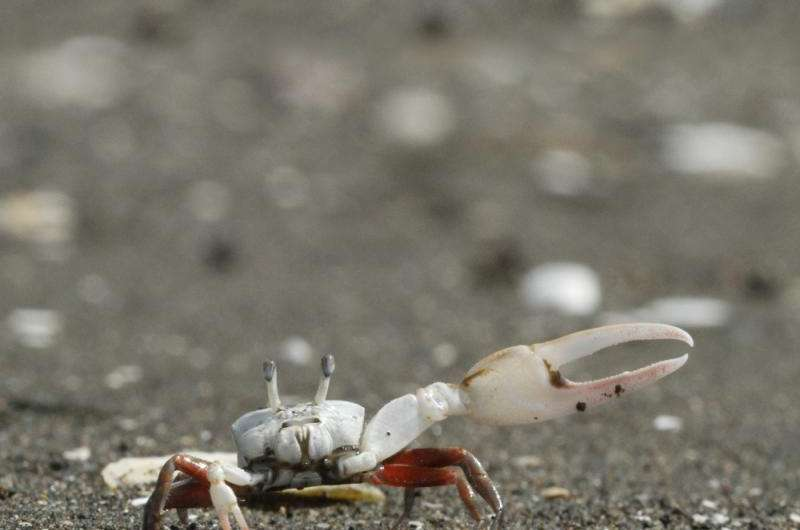 Polarization vision gives fiddler crabs the edge in detecting rivals