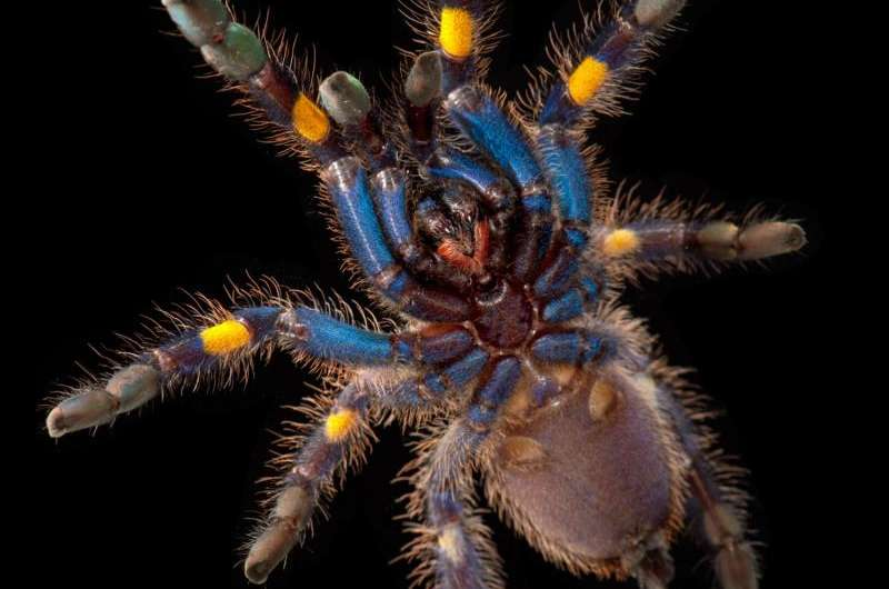 Study suggests blue hue for tarantulas not about attracting a mate