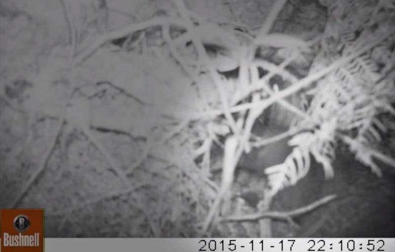 Footage captures kiwi destroying robin nest, revealing unknown behavior