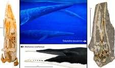 Researchers identify new NZ fossil whale species