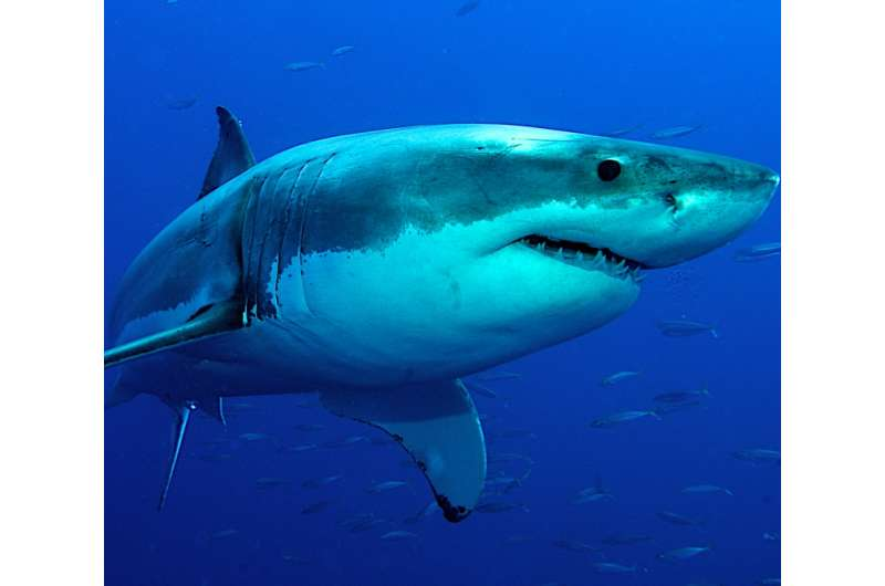New research shows white sharks use sun to hunt prey