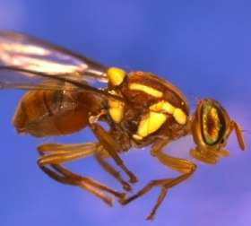 Researchers publish complete DNA sequence of the Queensland fruit fly