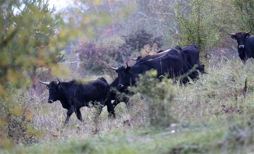 Wild aurochs-like cattle reintroduced in Czech Republic (Update)