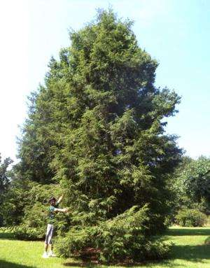 Researchers unlock new way to clone hemlock trees able to fight off deadly pest
