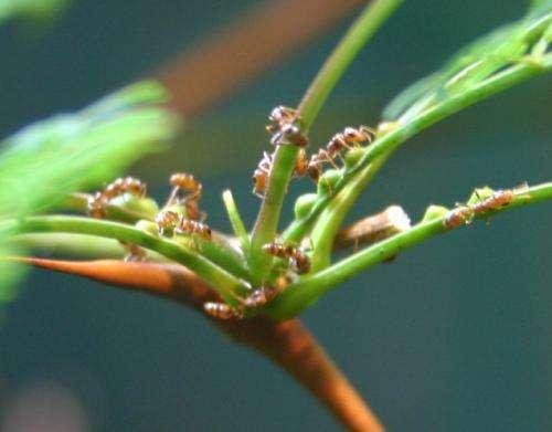 acacia ants