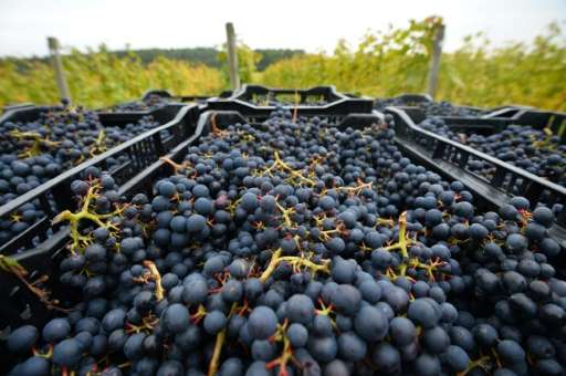 Acolon grapes are ready to be transported from a vineyard near Scaynes Hill, part of the wine department of Plumpton College in