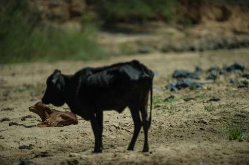 A devastating drought is claiming thousands of livestock in South Africa, and prompting many to fear famine