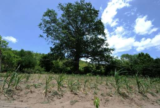 A drought-hit maize field in the municipality of Texiguat, about 100 km southeast of Tegucigalpa, Honduras is pictured on July 2