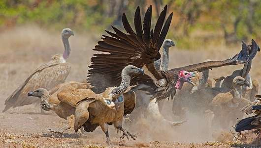 African vultures declining at a critical rate
