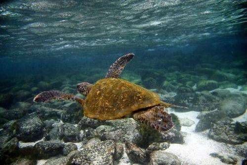 A Green sea turtle swims near San Cristobal island in the Galapagos archipelago, where a cargo ship has stranded loaded with sup