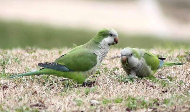All invasive parakeets come from a small region in South America