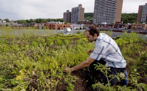 A man weeds his rooftop garden on August 9, 2007 in Montreal
