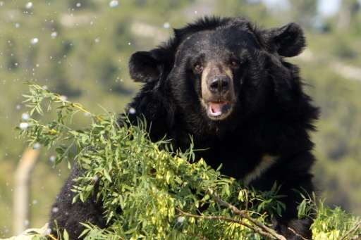 An Asian black bear is pictured on July 9, 2013