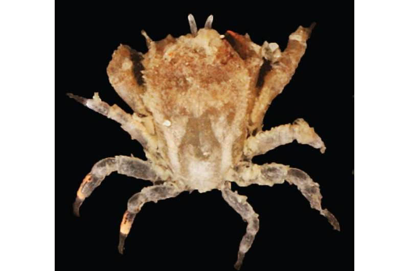 A new coral-inhabiting gall crab species discovered from Indonesia and Malaysia
