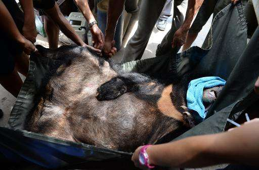 Animal protection group Animals Asia staff carry a captive anesthetized moon bear at a private bear farm which was targeted by t