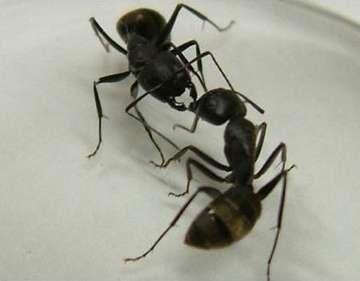 Ant communication—secrets of the antennae