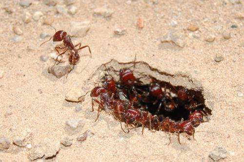Ants' intruder defense strategy could lead to better email spam filters, Stanford biologist finds