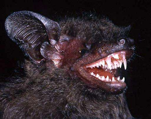 An undated handout picture released in Hanoi on May 27, 2015 by the World Wildlife Fund (WWF) shows a long-fanged bat, Hypsugo d