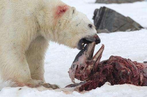 A polar bear eats a white-beaked dolphin in the Smeerenburgfjorden fjord, in the Norwegian archipelago of Svalbard, Norway, on J