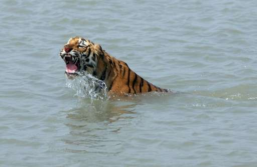 A rescued tigress swims in the Sundarikati river after being released by forest workers at Sunderbans in February 2008