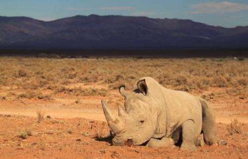 A rhino at the private game reserve of French Damien Vergnaud, 200 kms north east of Cape Town, March 23, 2013.  The slaughter o