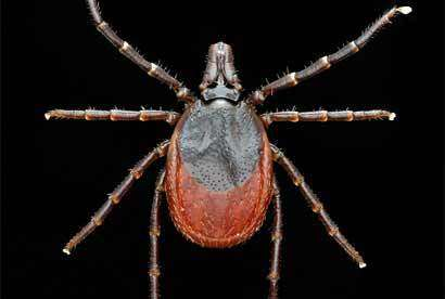 A tick that feeds on birds may increase the range of Lyme disease