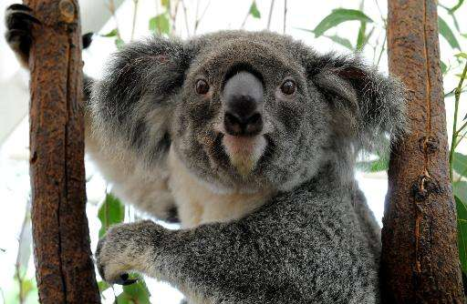 Australia's Queensland state is to list the koala as a 'vulnerable species' throughout the northeastern region, saying urban exp