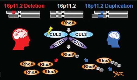 Autism genes activate during fetal brain development