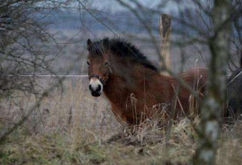 A wild horse seen in its enclosure in Milovice, a small town just east of the Czech capital of Prague