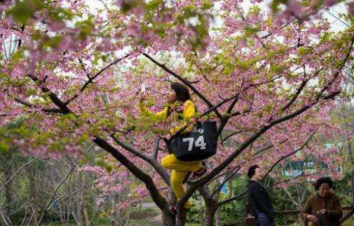 """A woman takes a """"selfie"""" in a tree during the first day of the Cherry Blossom Festival in Gucun Park in northern Shang"""