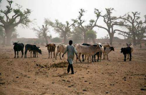 A young boy from Beni Hussein tribe herds his cattle in El-Sereif, North Darfur, on May 13, 2013