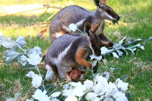 A Zoos South Australia photo shows a pair of yellow-foot rock wallabies with a female (foreground) carrying a baby Goodfellow's