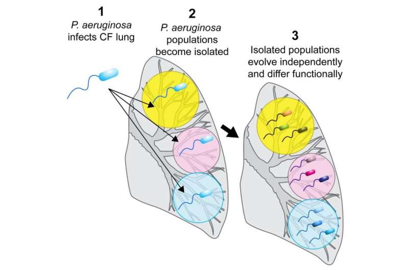 Bacteria evolve differences within the lungs of patients with cystic fibrosis