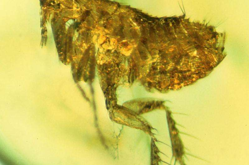 Bacteria in ancient flea may be ancestor of the Black Death